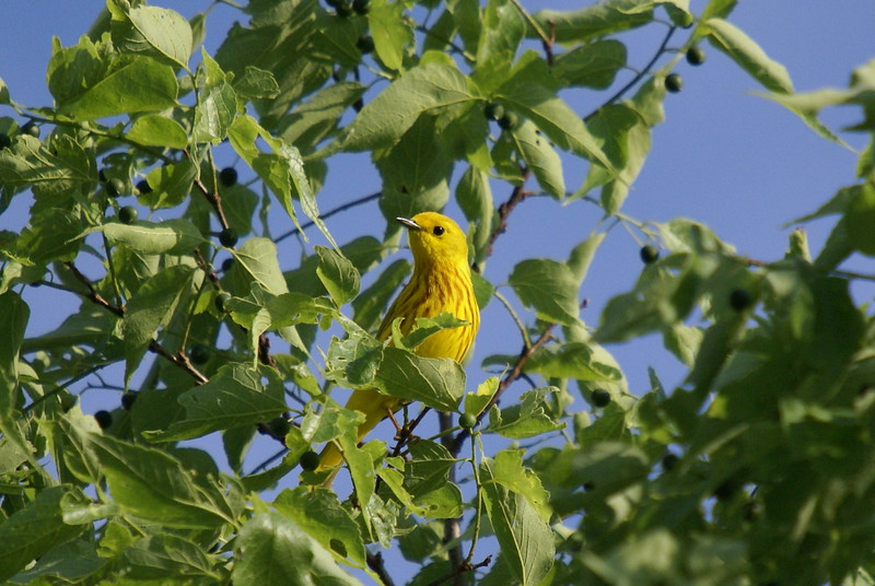 Yellow Warbler <br /> <br /> Picture taken at Snyder Flats 6-10-2007