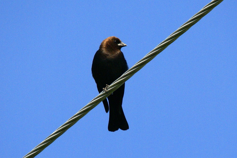 Brown-headed Cowbird<br /> <br /> Picture taken at Snyder Flats 6-10-2007