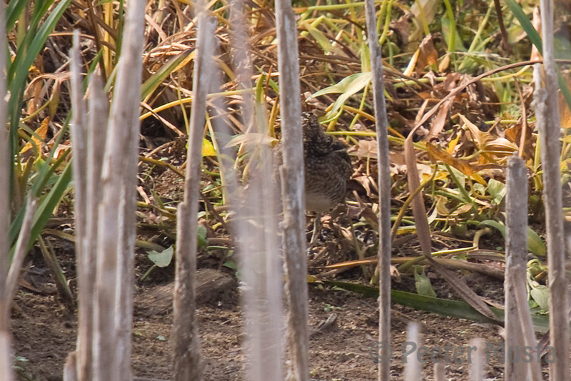 Common Snipe hiding at the edge of the smaller reed-filled pond.