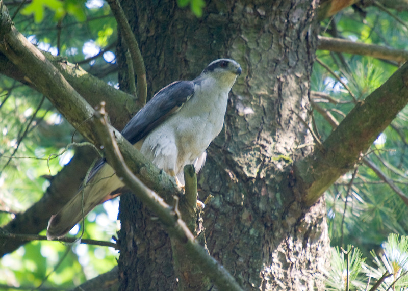 Northern Goshawk (Adult)