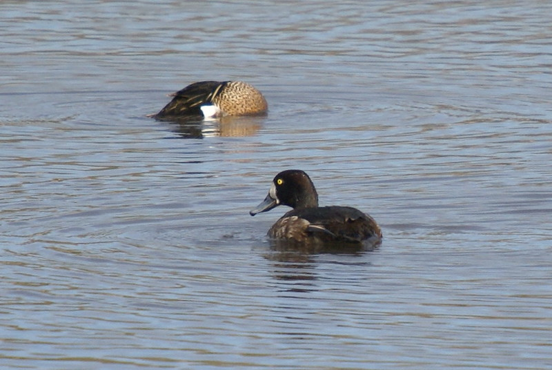 Blue Winged Teal (top) & presumed Lesser Scaup (Bottom)