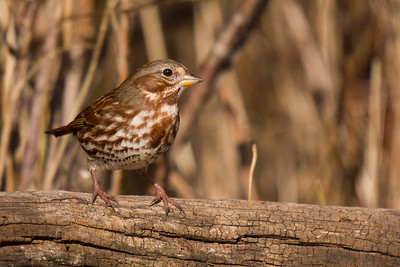 I really enjoyed the overall colour scheme in this shot with the Fox Sparrow complemented by the dried reeds in the background and cracked wood perch.