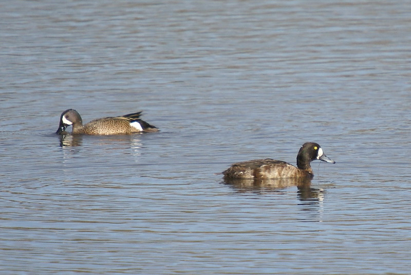 Blue Winged Teal (left) & presumed Lesser Scaup (Right)