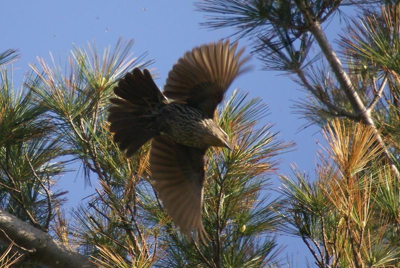 Female Redwing Blackbird in flight.