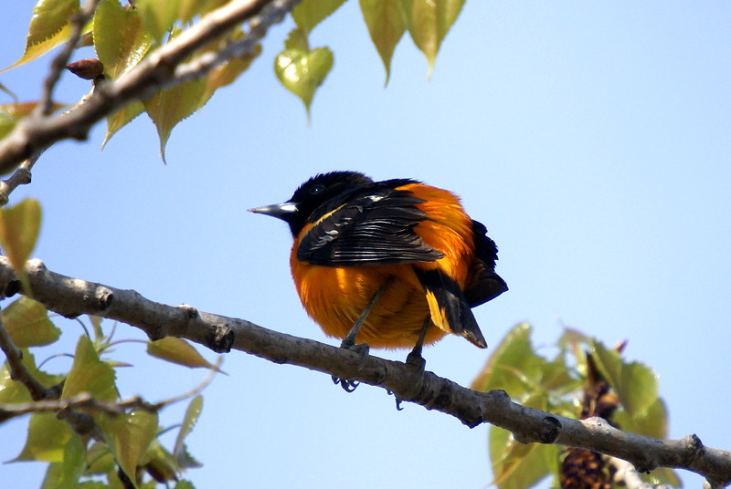 Baltimore Oriole<br /> <br /> Taken at Tommy Thompson Park (Toronto, ON)