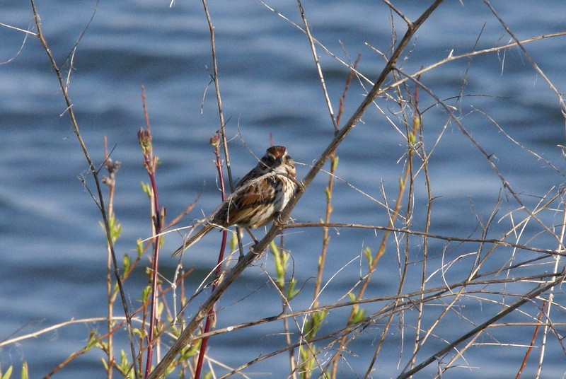 Song Sparrow <br /> <br /> Taken at Tommy Thompson Park (Toronto, ON)