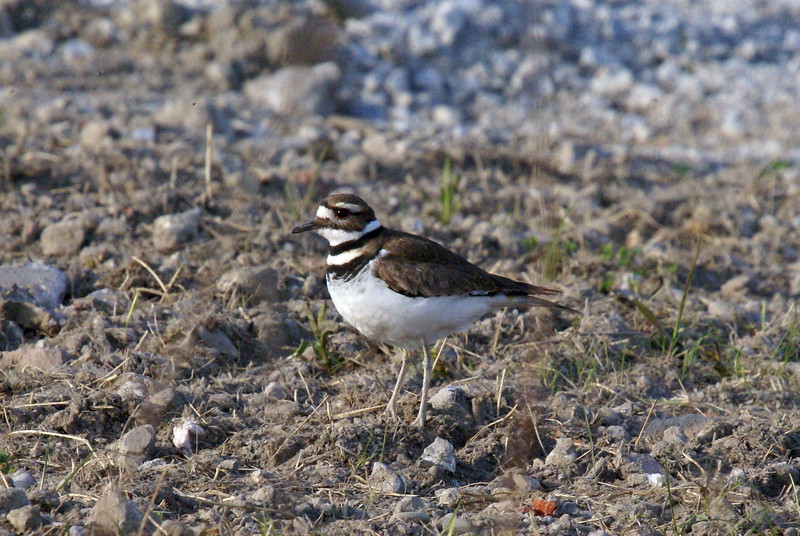 Killdeer. I honestly expected a lot more of these here...<br /> <br /> Taken at Tommy Thompson Park (Toronto, ON)
