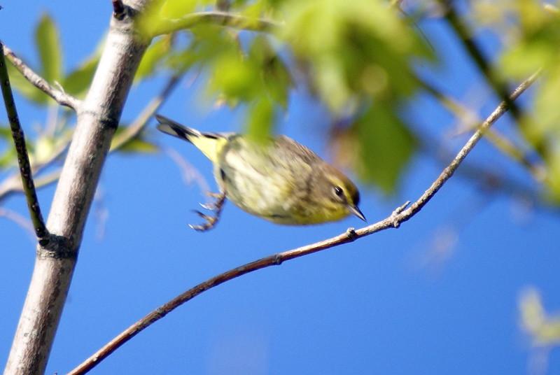 Palm Warbler <br /> <br /> Taken at Tommy Thompson Park (Toronto, ON)
