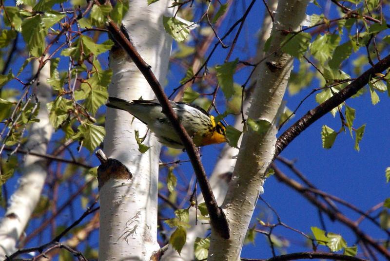 Blackburnian Warbler<br /> <br /> Taken at Tommy Thompson Park (Toronto, ON)