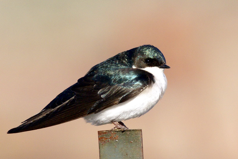 Tree Swallow <br /> <br /> Taken at Tommy Thompson Park (Toronto, ON)