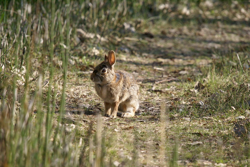 One of many wild rabbits<br /> <br /> Taken at Tommy Thompson Park (Toronto, ON)