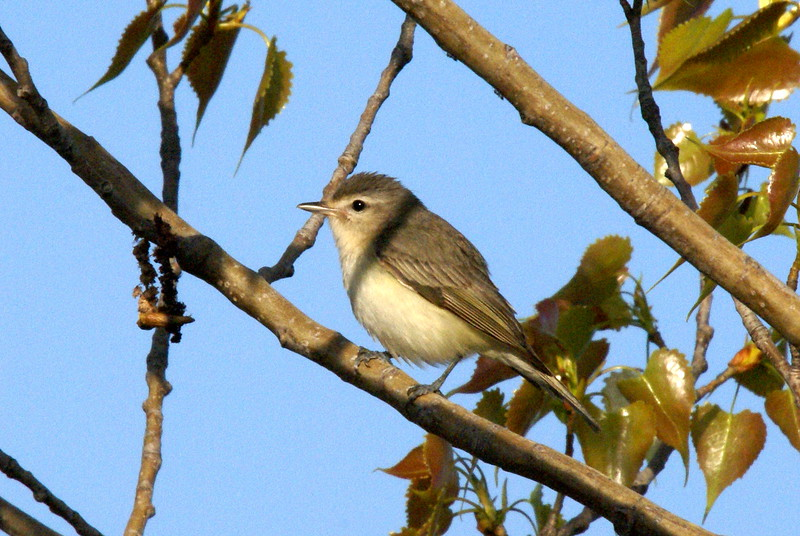 Warbling Vireo<br /> <br /> Taken at Tommy Thompson Park (Toronto, ON)
