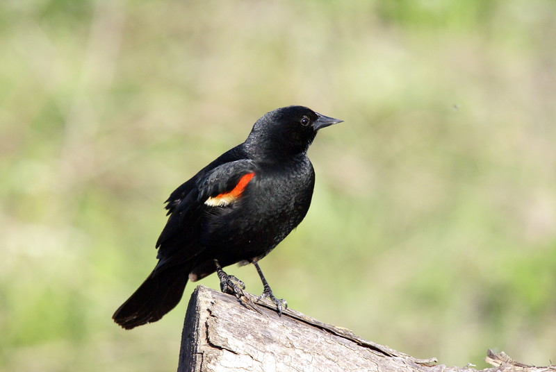 Red Wing Blackbird<br /> <br /> Taken at Tommy Thompson Park (Toronto, ON)