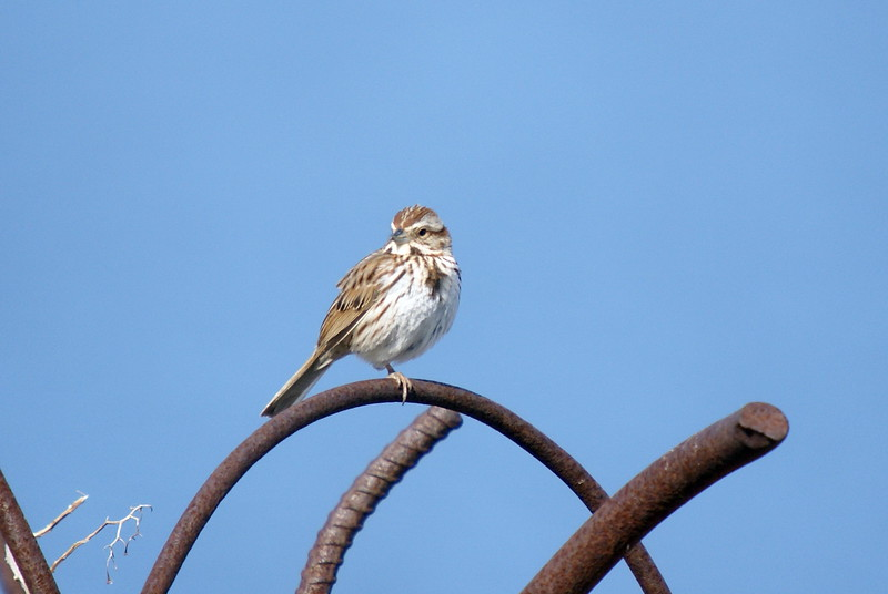 Song Sparrow  (Though coloring seems very light)<br /> <br /> Taken at Tommy Thompson Park (Toronto, ON)