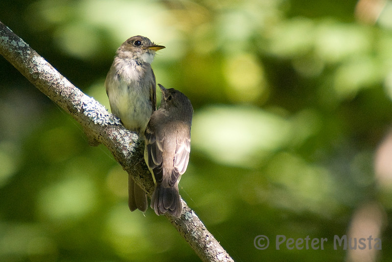 Traill's Flycatcher (Willow/Alder virtually indistinguishable through simple obervation without song).  Young bird still looking to be fed.