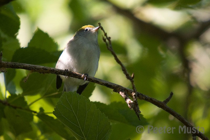 Chestnut-sided Warbler (fall plumage)