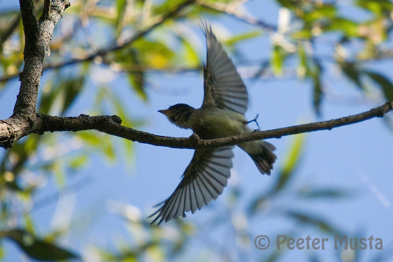 A second yellow-bellied flycatcher