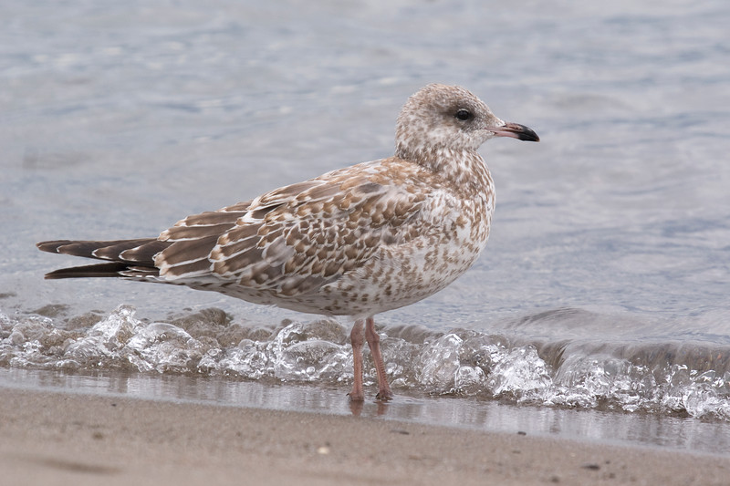 Ring-billed Gull - August 2011