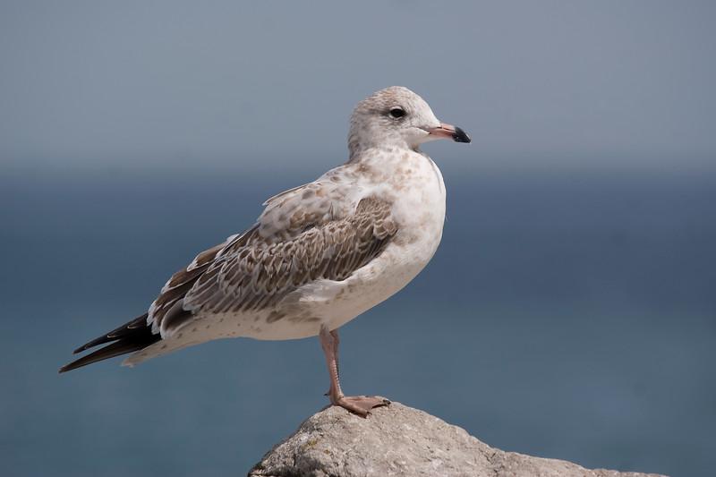 Ring-billed Gull (August)