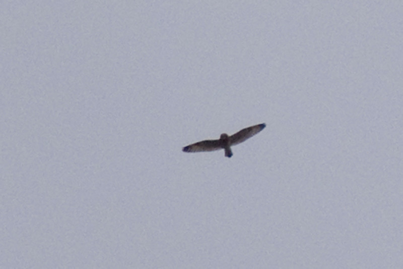 Short-eared Owl - flying high overhead in some wicked eastern winds.