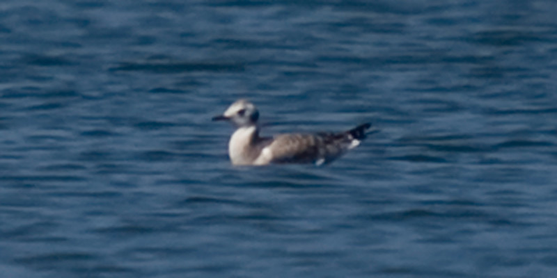 Juvenile Bonaparte's Gull off Eastport Drive, August 4, 2011. (got me a little bit excited, had me thinking Sabine's).
