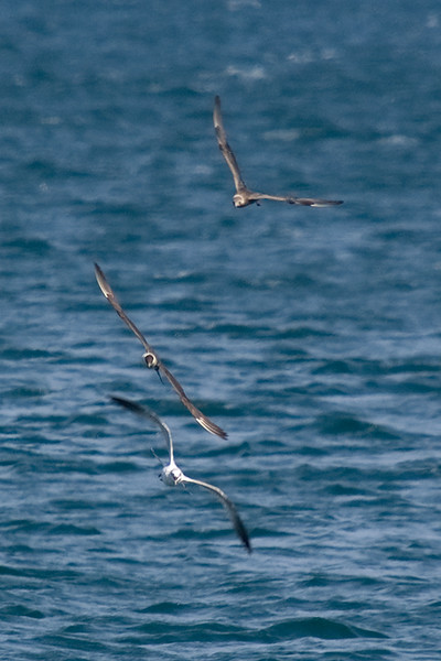 Juvenile and 2nd/3rd Basic Long-tailed Jaeger pursuing a gull