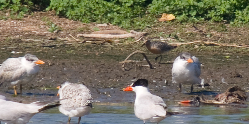 Red Knot on the beach behind the Caspian Terns. Observed August 4, 2011 off Eastport Drive.