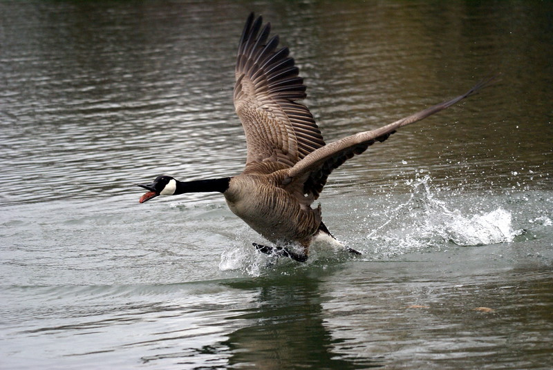 Canada Goose chasing off rival suitors.