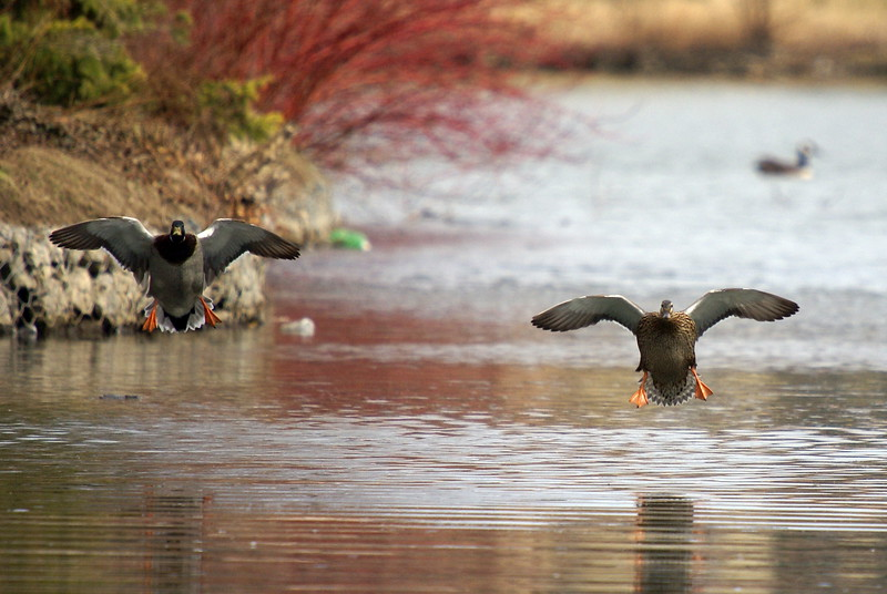 Male and Female Mallard coming in for landing.