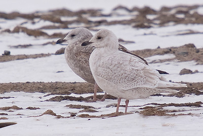 Iceland Gull (front)