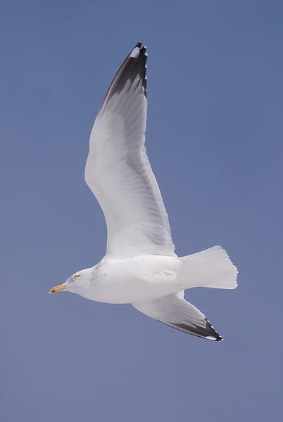 Adult Herring Gull in flight
