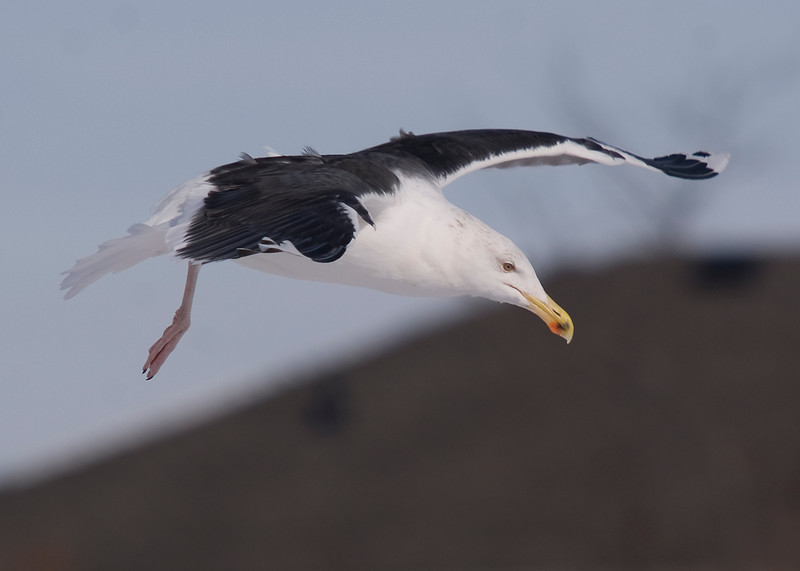 Adult Greater Black-backed Gull