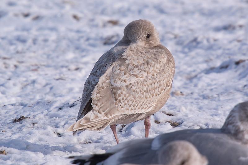 Kumlien's Iceland Gull - January