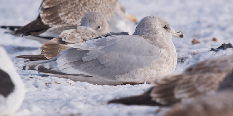 Kumlien's Iceland Gull (Third Cycle)