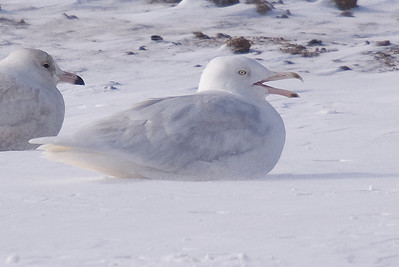 3rd winter Glaucous Gull