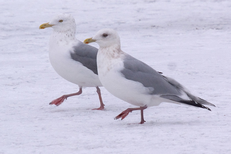 Adult Thayer's Gull (front), walking with Adult Herring Gull behind.  Can't ask for better comparison views than this!
