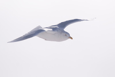 Adult Glaucous Gull in flight