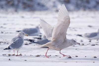 1st winter Glaucous Gull taking off. Adult Herring Gull on left.