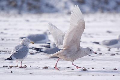 1st winter Glaucous Gull taking off. Adult Herring Gull on left.
