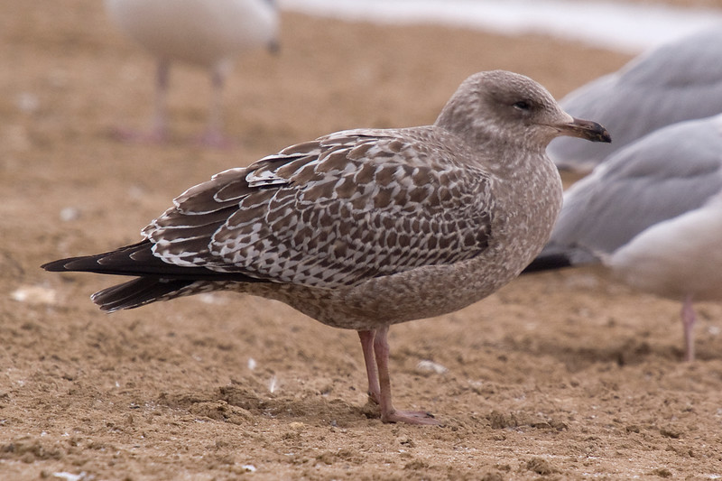 Northern Herring Gull still in juvenile plumage - February