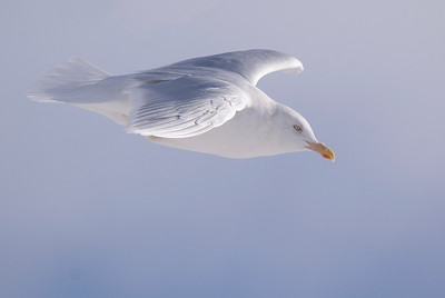 Adult Glaucous Gull in flight