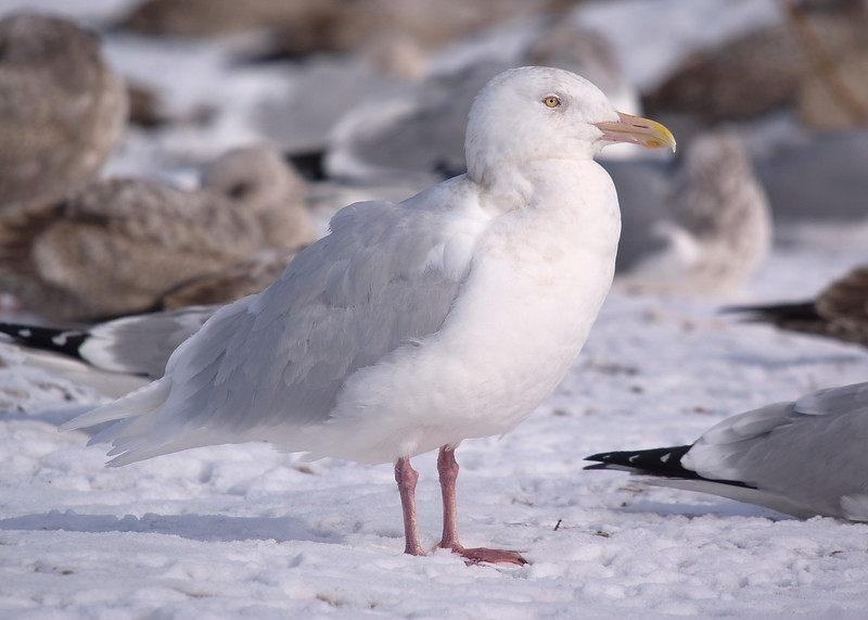 Glaucous Gull - Adult