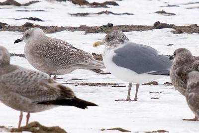 Iceland Gull (left, top) with Herring Gulls.