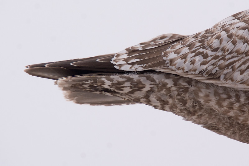 Thayer's Gull - March 2012