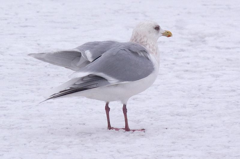 Thayer's Gull (Adult)....finally! - January