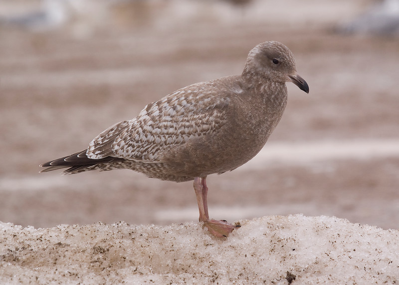 Thayer's Gull - March 2012