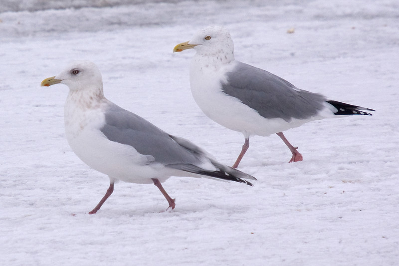 Adult Thayer's Gull - January.  Walking with a Herring Gull behind.