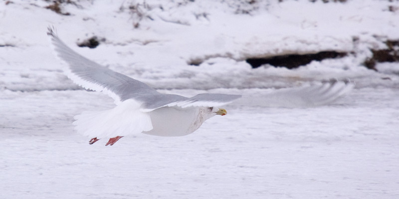 Thayer's Gull take-off.