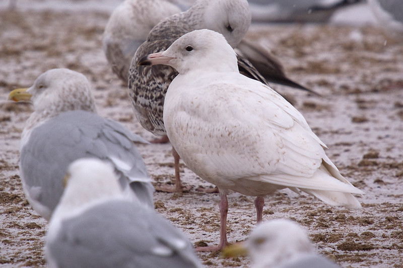 second cycle Glaucous Gull