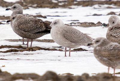 Iceland Gull (Center Frame - sleeping)